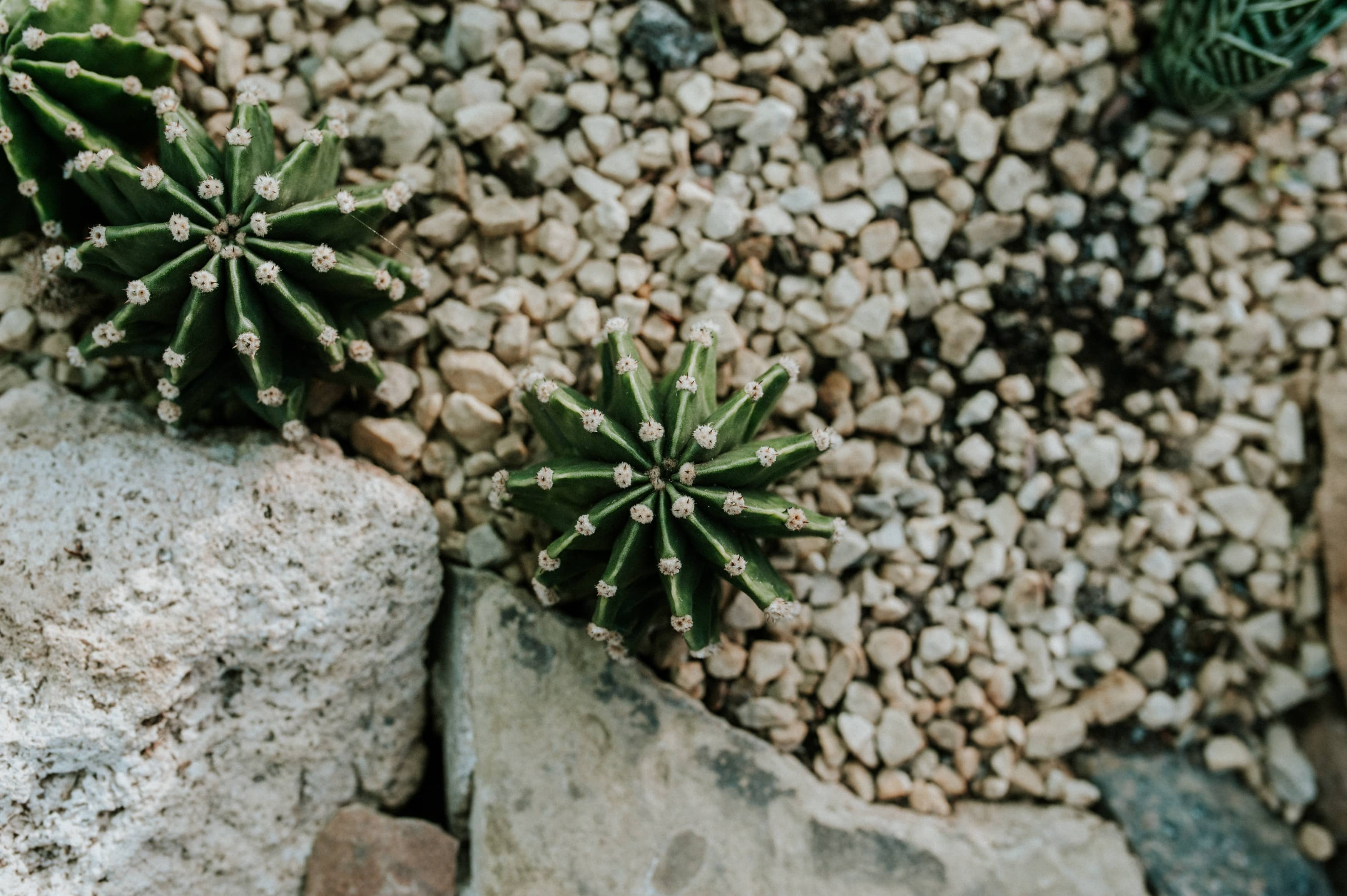 rocalla de cactus