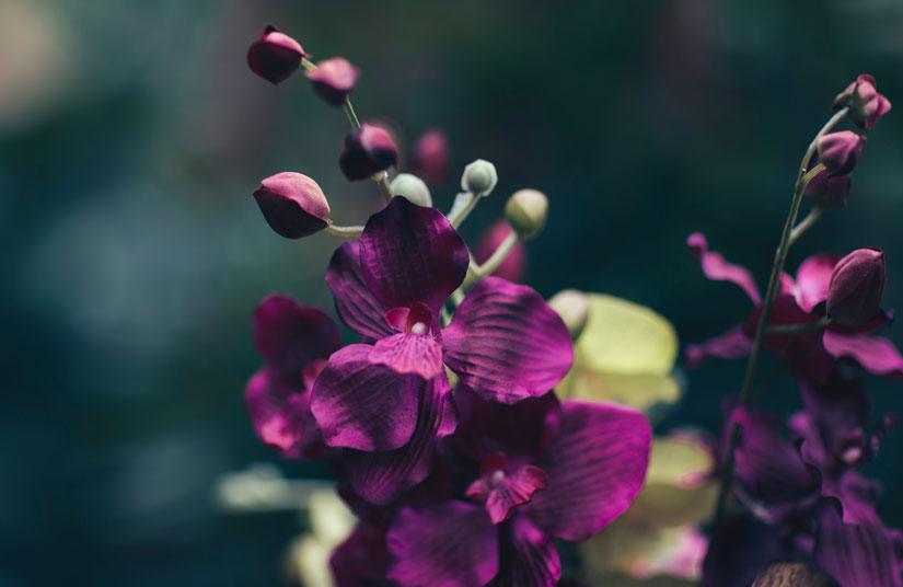 orquídea cuidados