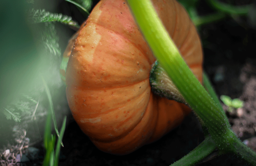 plantar calabazas