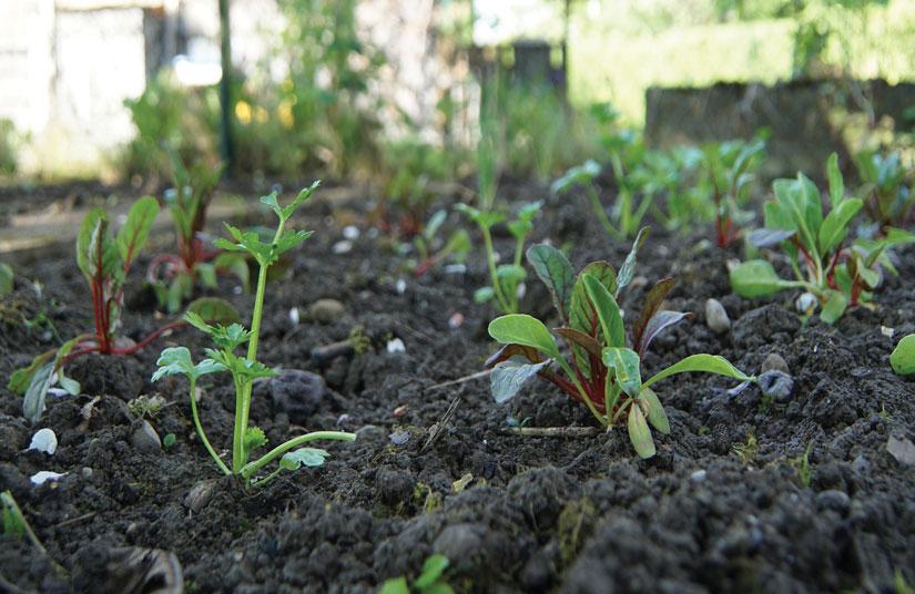 cultivar acelgas