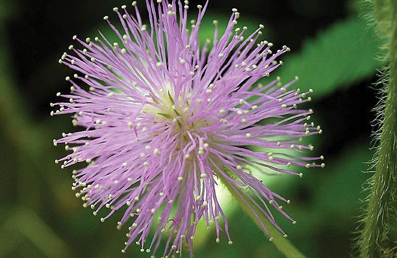 Flores de la mimosa