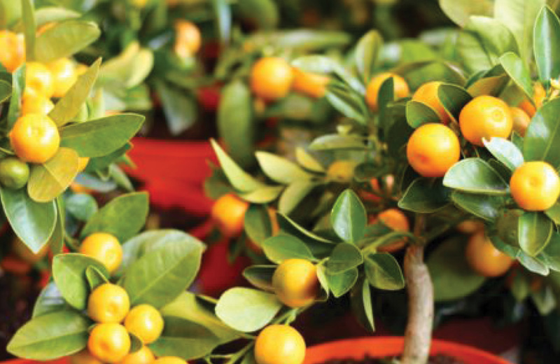 árboles frutales enanos en maceta