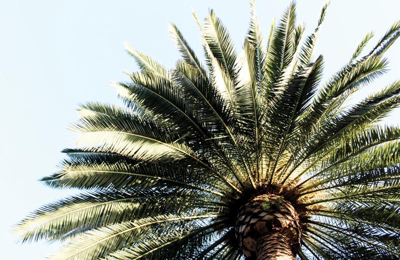 Variedades de palmeras