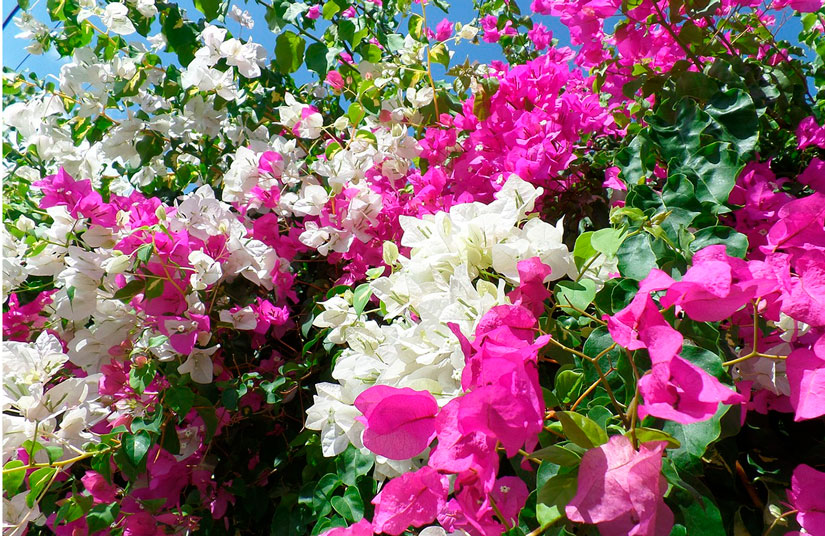 Colores de la buganvilla